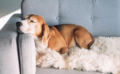 ソファに寝そべる犬